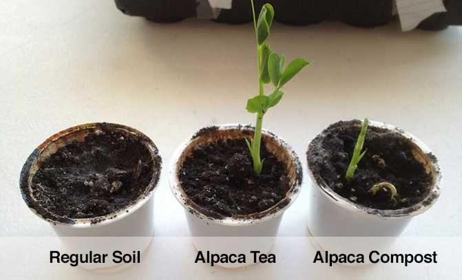 Organic compost from alpacas tested against regular soil.