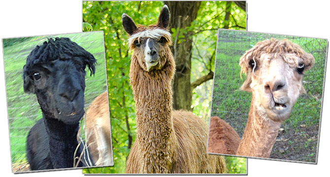 Photo of male alpacas that are responsible for most of the wrestling on our farm.