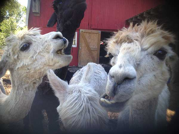 Alpacas eating