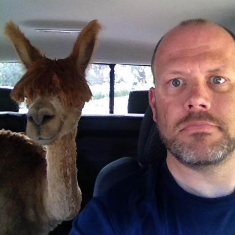 Driving in a car with an alpaca.