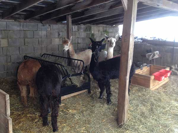 Alpacas eating from a DIY hay feeder futon frame