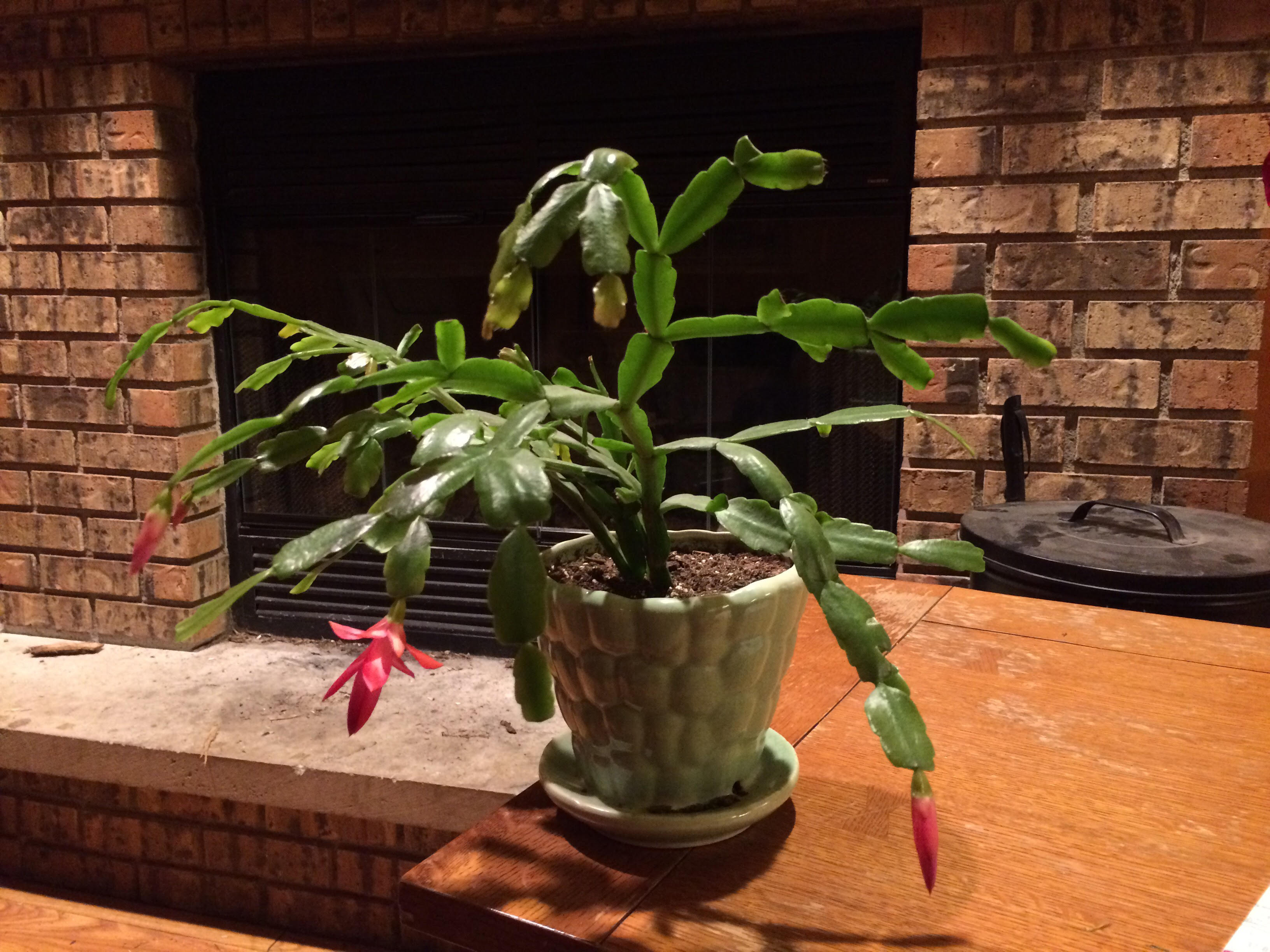 Christmas cactus after using alpaca compost.